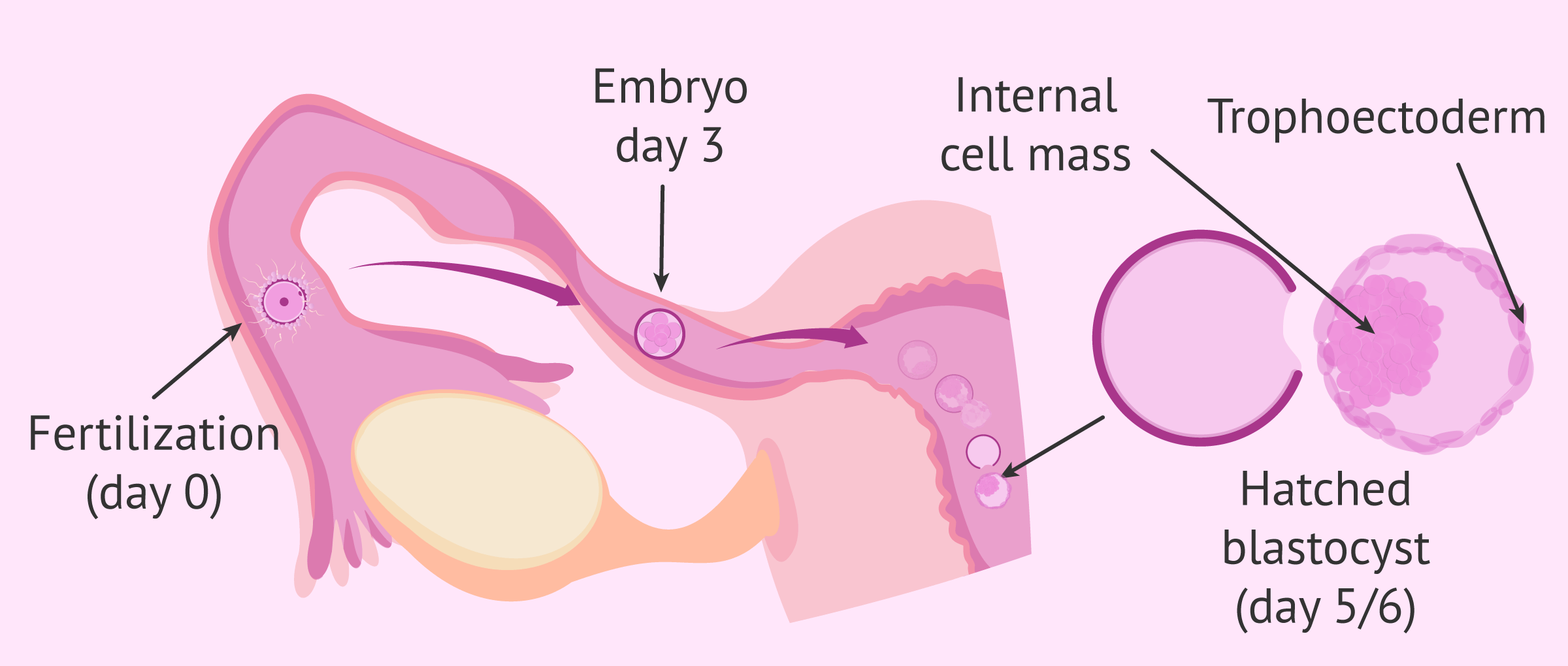 Imagen: Development and implantation of embryo in the uterus