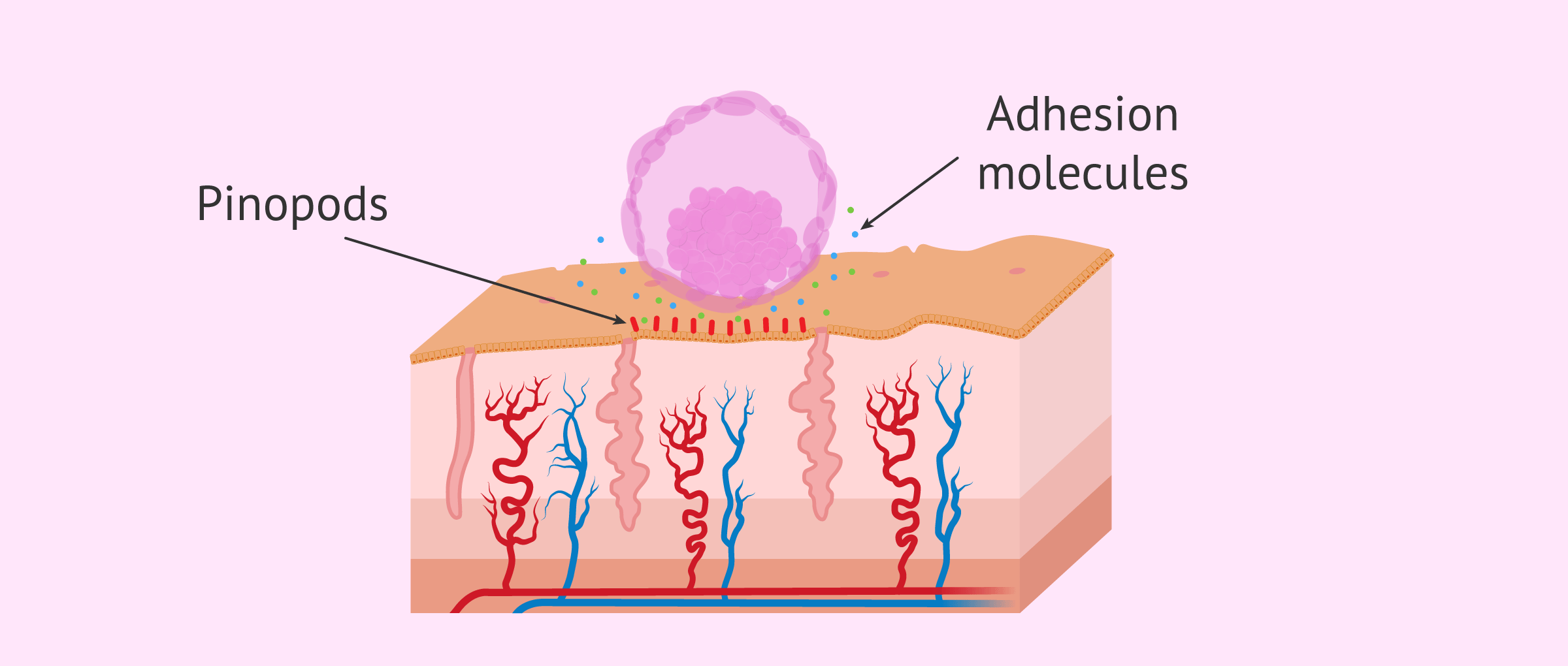 Imagen: Apposition of embryo
