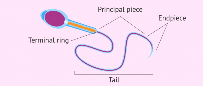 Diagram of sperm cell tail